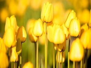 Tulipanes amarillos brillando al sol