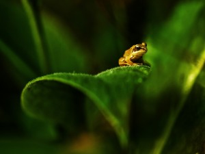 Pequeña rana sobre una hoja verde