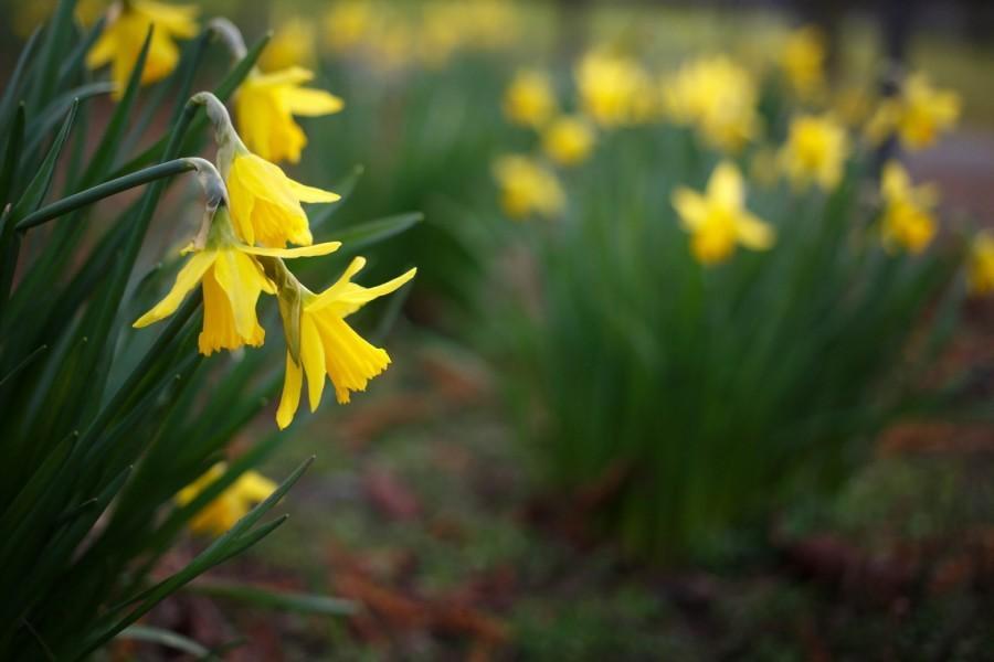 Hermosos narcisos amarillos en un jardín
