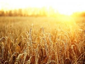 Sol iluminando el campo de trigo