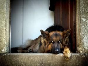 Pastor alemán tumbado en la puerta de una casa