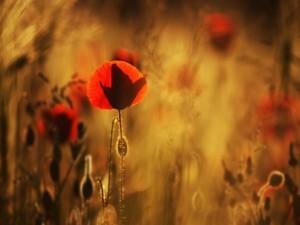 Amapolas rojas en verano