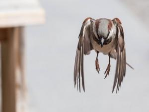 Gorrión volando