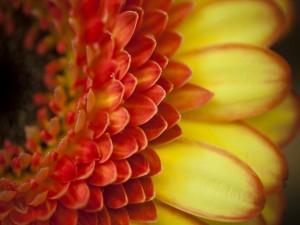 Los pétalos rojos y amarillos de una gerbera
