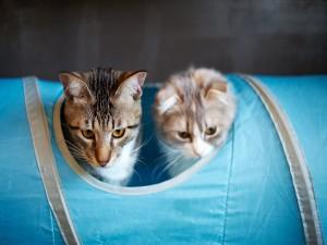Dos gatos jugando en un tubo