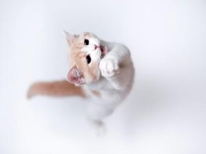 Gato saltando sobre las patas traseras