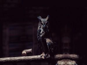 Un hermoso búho con plumaje oscuro