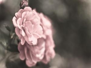 Rosas de color rosa en el rosal