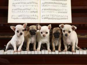 Chihuahuas sobre las teclas de un piano