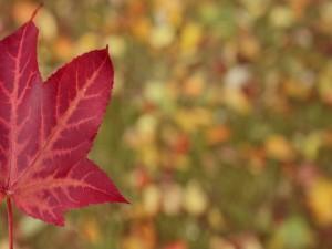 Una hoja roja