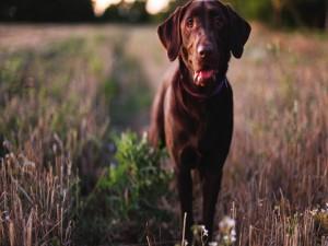Labrador retriever en el campo