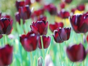 Hermosos tulipanes rojos en el campo
