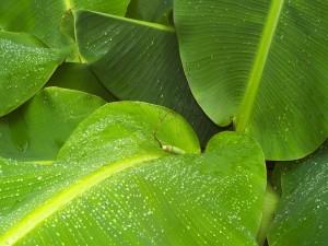 Grandes hojas con gotas de agua