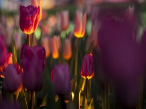 Tulipanes recibiendo los primeros rayos del sol