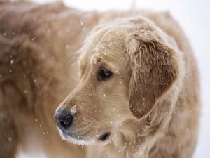 Copos de nieve sobre el perro
