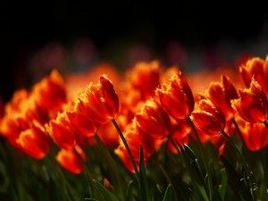 Tulipanes abiertos en el campo