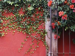 Enredadera en la pared y ventana