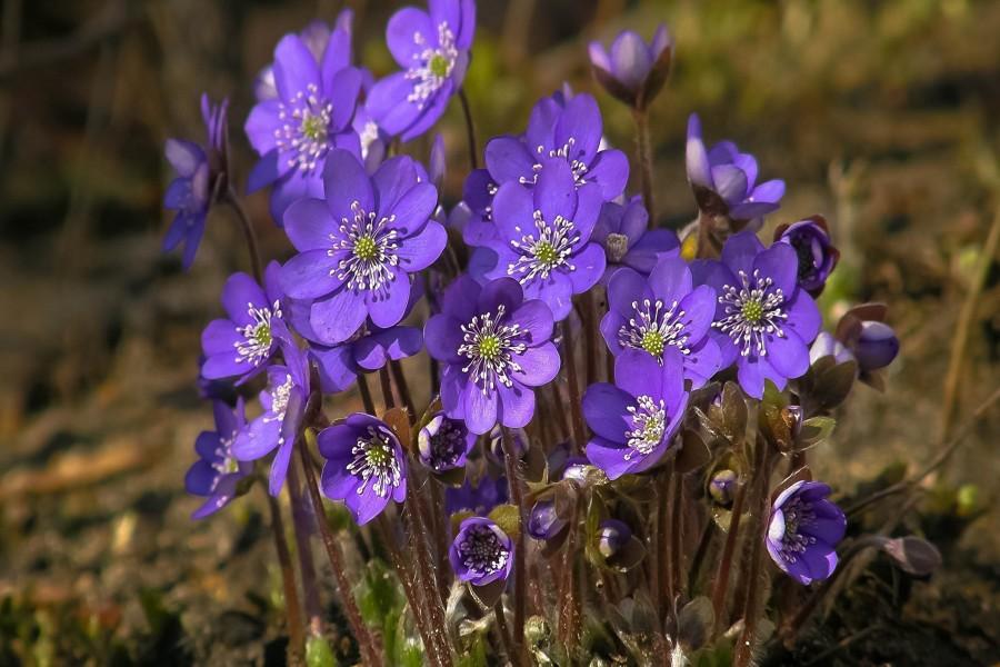 Espléndidas violetas en primavera