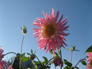 Dalias rosas bajo un cielo despejado