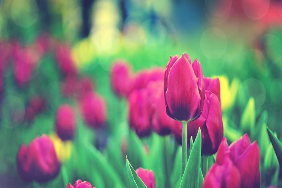 Tulipanes fucsias en el jardín