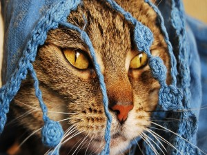 Gato con una bufanda azul en la cabeza