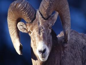 Cuernos poderosos de una cabra