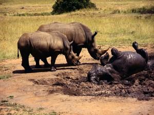 Rinocerontes jugando en el barro