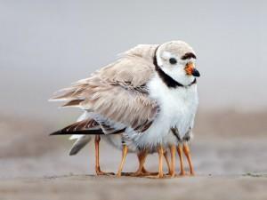 Protegiendo a los polluelos