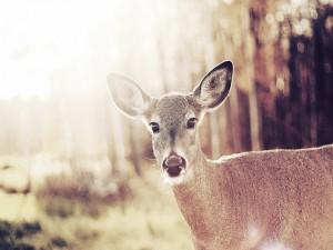 La mirada de un ciervo