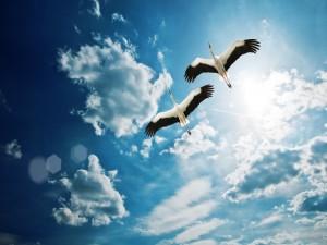 Dos cigüeñas volando por el cielo