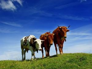 Tres vacas con cencerros sobre la hierba