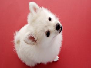 Hermoso cachorro blanco mirando hacia arriba