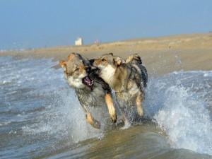 Lobos peleando en una playa