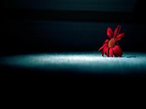 Una flor roja en la sombra