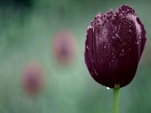 Un hermoso tulipán