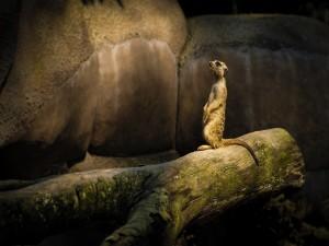 Suricata en lo alto de un tronco