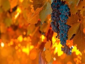 Uvas madurando entre las hojas de la parra