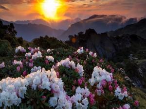 El sol iluminando los rododendros en las montañas