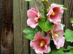 Elegantes malvas rosadas en una valla
