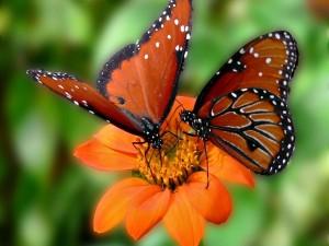 Dos mariposas sobre una flor naranja