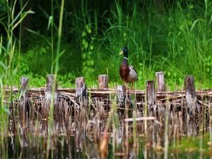 Pato silvestre sobre un puente de madera