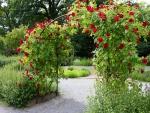 Rosas rojas enroscadas en un arco