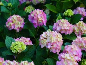 Bellas hortensias florecidas en el jardín