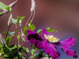 Atractivo klematis color púrpura