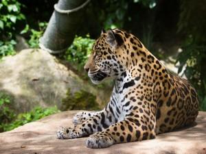 La belleza de un jaguar tumbado sobre una roca