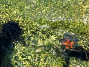 Erizo y estrella de mar en el agua