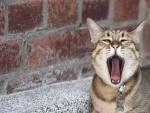 Un gato bostezando