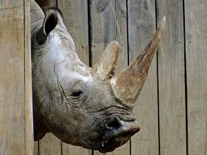 La cabeza de un rinoceronte
