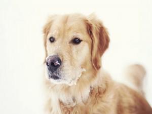 Perro con nieve en el hocico
