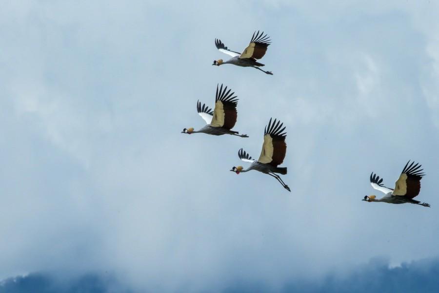 Grullas coronadas volando